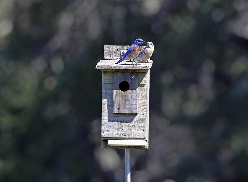 Bluebird pair on nesting box