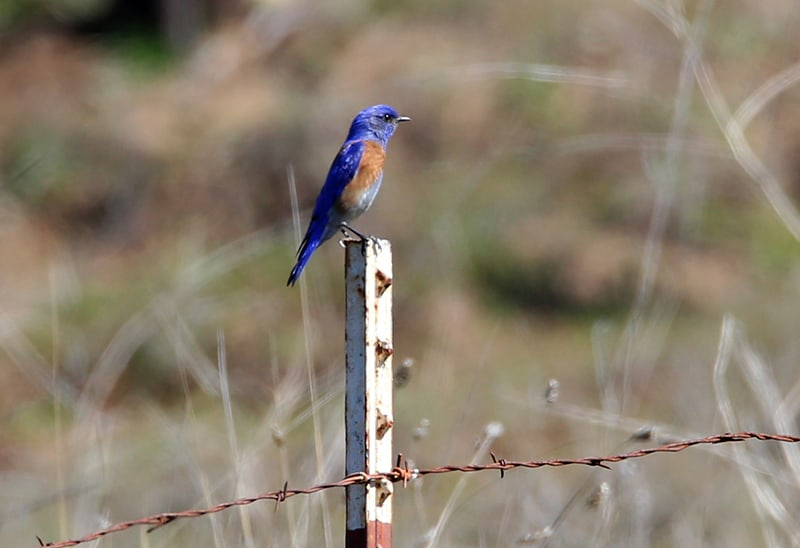 Male bluebird on fence post
