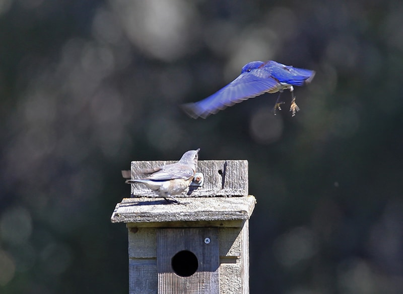 Bluebirds flirting
