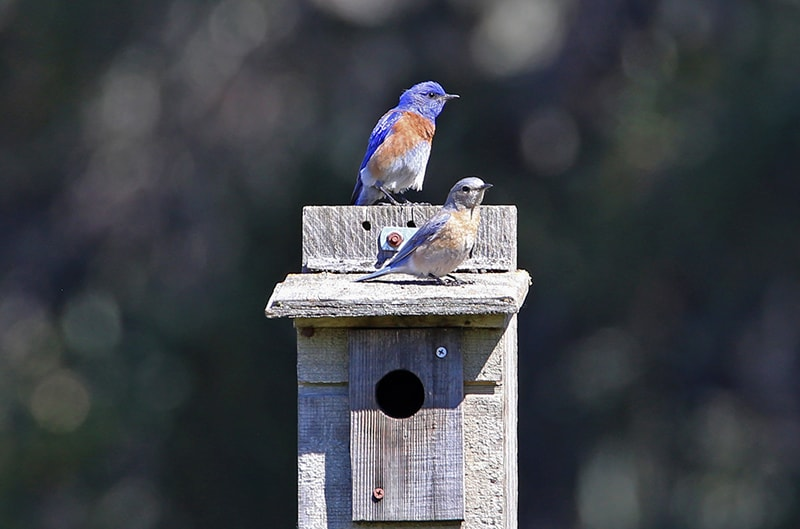 Sunburst Western Bluebird Program