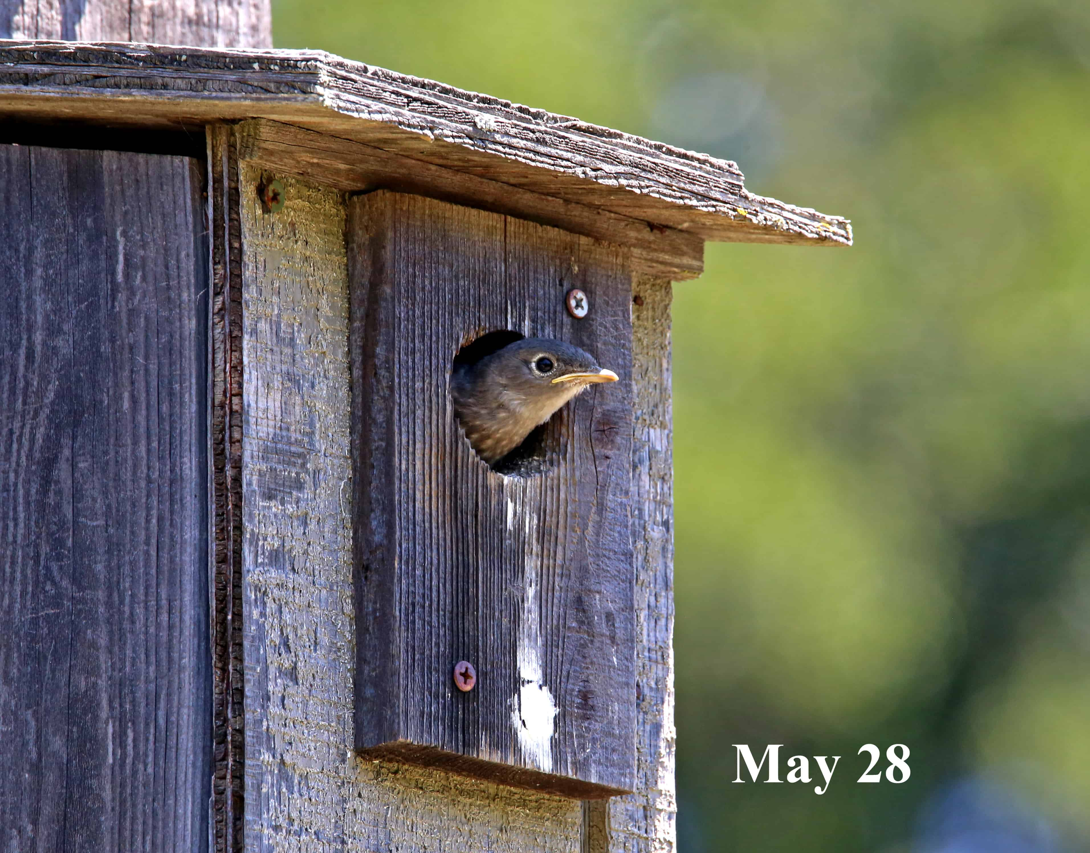 Bluebird Nesting at Sunburst, part 2