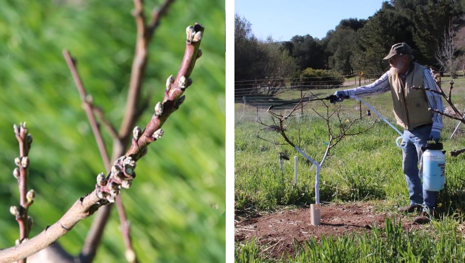 Spraying peach tree buds