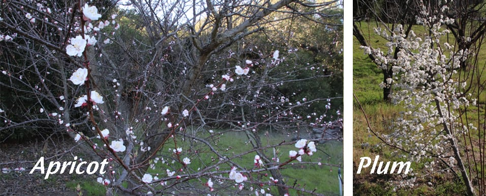 Apricot and Plum blossoms