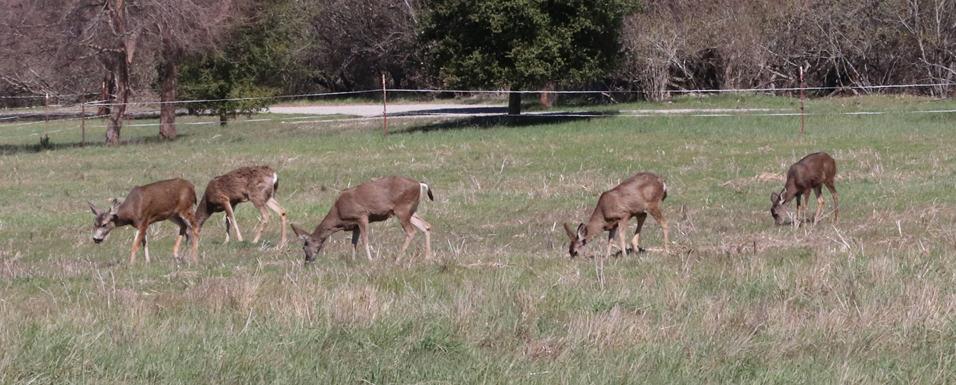 Deer eating fresh greens