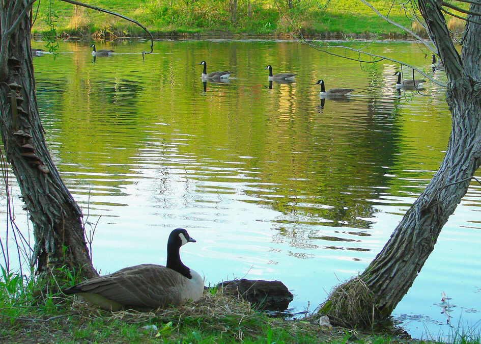 Geese at Pond