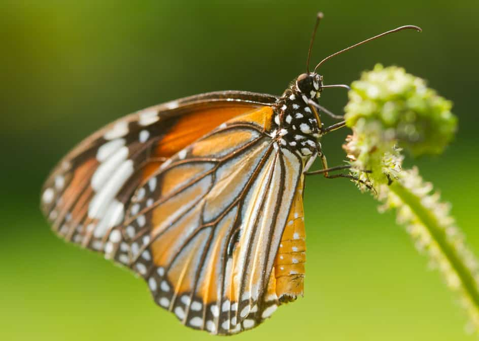 Monarch Butterfly Medicine