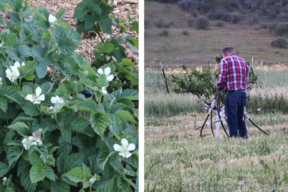 Blackberry flowers & Orchard